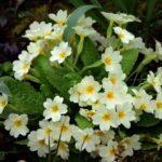 Йглика - градински цветя